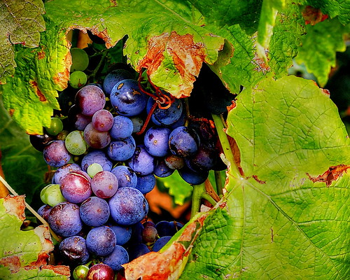 Uvas / Grapes