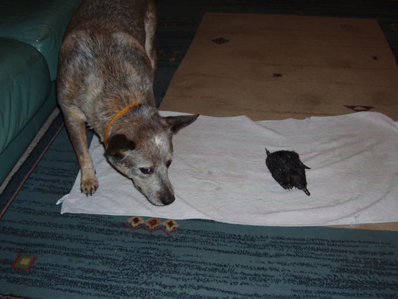 Polly vs Puggle
