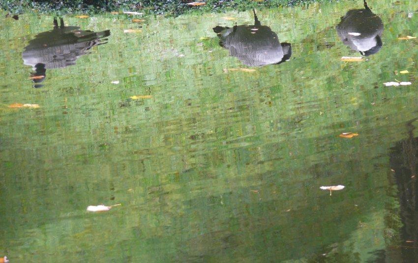 Tês cisnes // Three swans