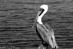 20061213_EvergladesPelican03BW