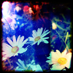 daisies photo by bmrg