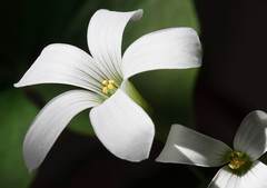 White Shamrock Flowers photo by rivadock4