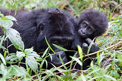 Mountain Gorillas, Bwindi Impenetrable Forest - Uganda photo by Giovanni Mari