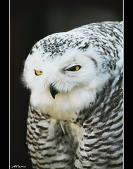 silly owl photo by - Marc -