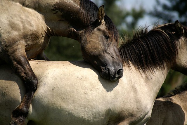 horses mating with donkey. horses mating pics. horses mating donkeys. horses mating donkeys.