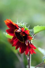 Snn Flower Or Helianthas Annus photo by ALi AL-Qudsi