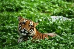 Tigers can be cute too!! photo by Vineet Radhakrishnan
