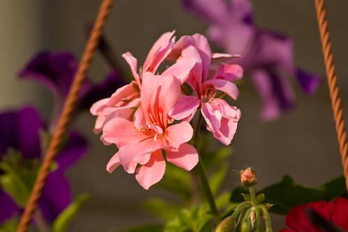 Garden Flowers 01