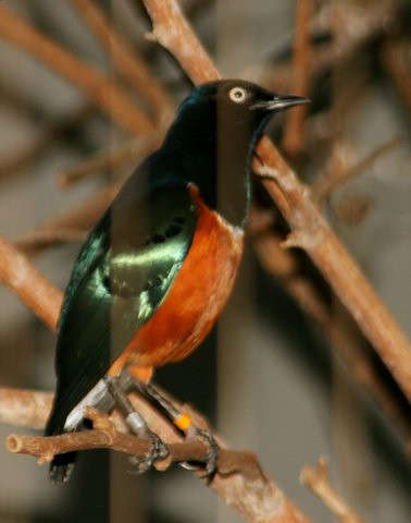 Superb Starling, St Louis Zoo