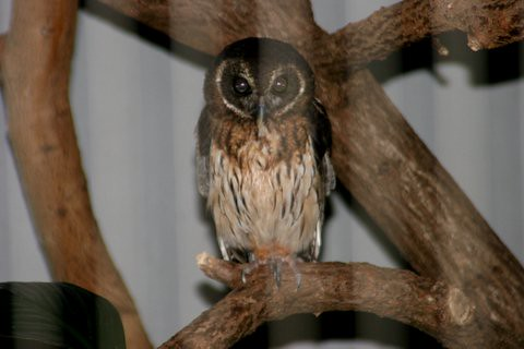 Mottled Owl, St Louis Zoo, IMG_0706.JPG