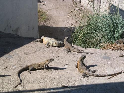 Isla Isabel reptiles