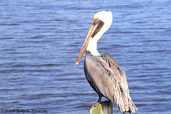 20061213_EvergladesPelican03