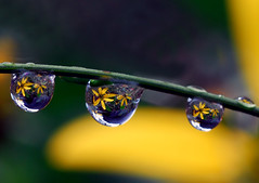 drops of yellow petals