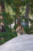 A squirrell (or chipmunk?) (Lake Mary, California, United States) Photo