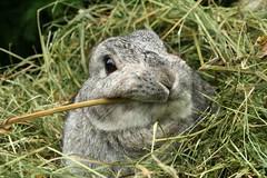 Lillen - the earless rabbit? photo by Madeleine_