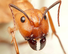 Rostro de hormiga. Picture of ant photo by Ed...