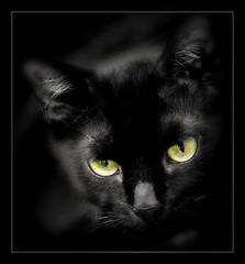 853 Black Cat 1 photo by Nebojsa Mladjenovic