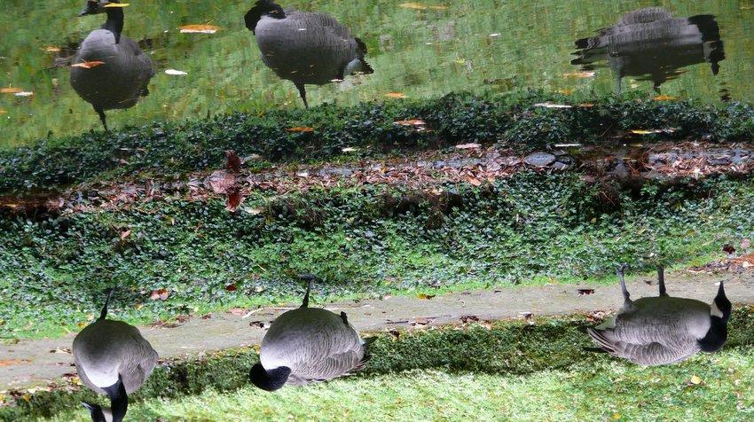 Seis cisnes? // Six swans?