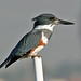 kingfisher-6846es-16x12crop