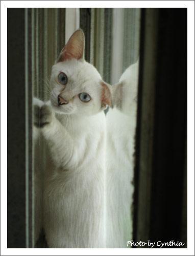 必要時偽裝折耳貓