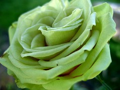 Green Miniature Rose 1 photo by LongInt57