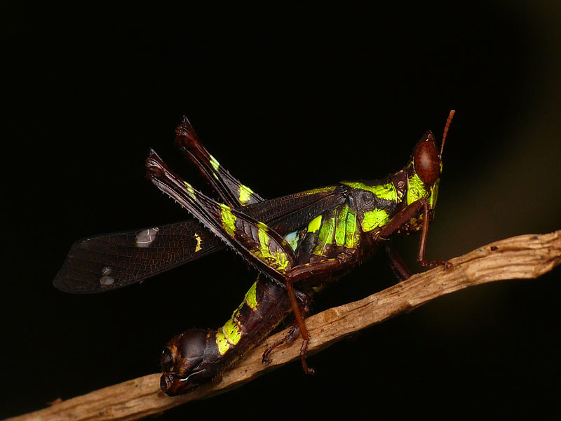 Pretty Grasshopper - Erianthus formosanus photo by Izuan