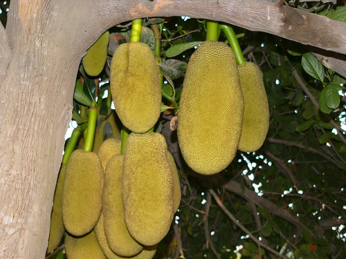Jack Fruit (Kathal), a rare fruit in Pakistan - Picture and Comments.