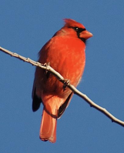 Cardinal Three
