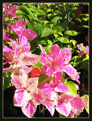 Bougainvillea 'Aiskrim' (synonym: B. 'Surprise' or B. 'Miss Universe') with pink & white bi-colored bracts, in our garden
