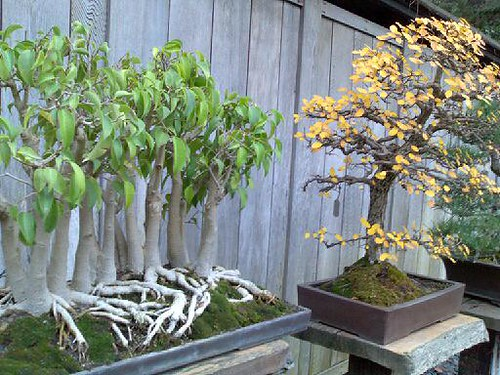 Fig Forest and Chinese Elm
