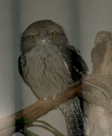 a picture for Twawny Frogmouth St Louis Zoo, IMG_0725 JPG