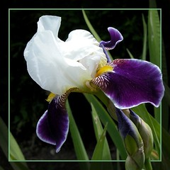Iris photo by Anna Bigatti