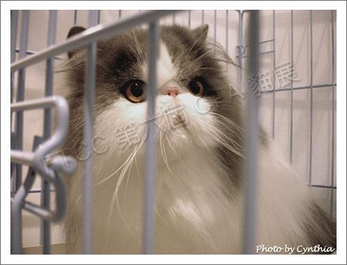 黛比貓舍的貓-2