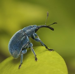 IMG_8017 (1) weevil photo by Troup1