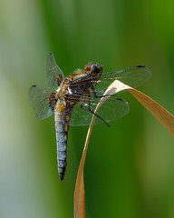 Broad-bodied chaser clinging on photo by Rivertay07 - thanks for over 3 million views