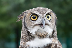 Great Horned Owl photo by .imelda