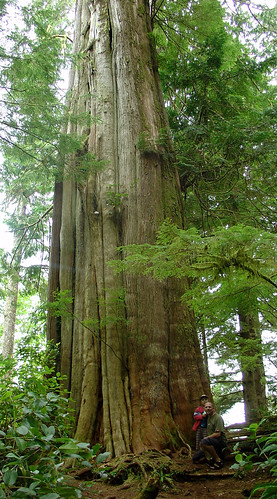 cedar tree; 1000+ years old