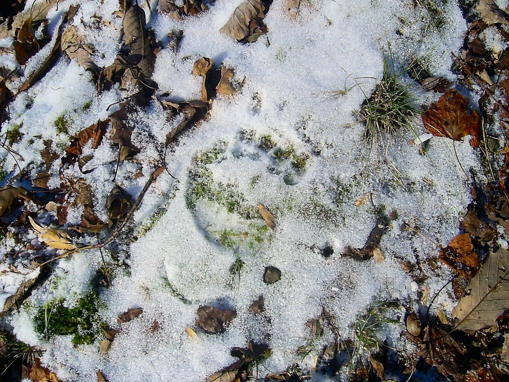 Bearprint in the Snow