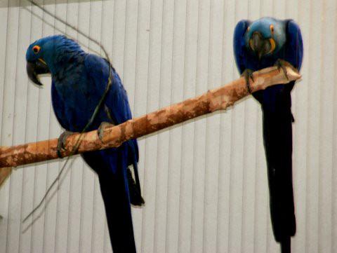 Hyacinth Macaw, St Louis Zoo, IMG_0746.JPG