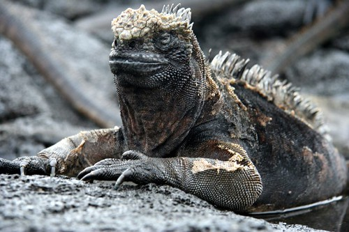 Marine Iguana Up Close