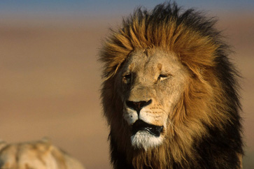 Abyssinian lion