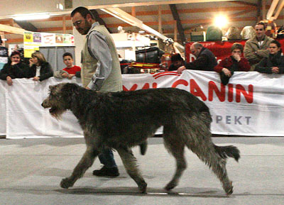 QL9T4196_Irish_Wolfhound