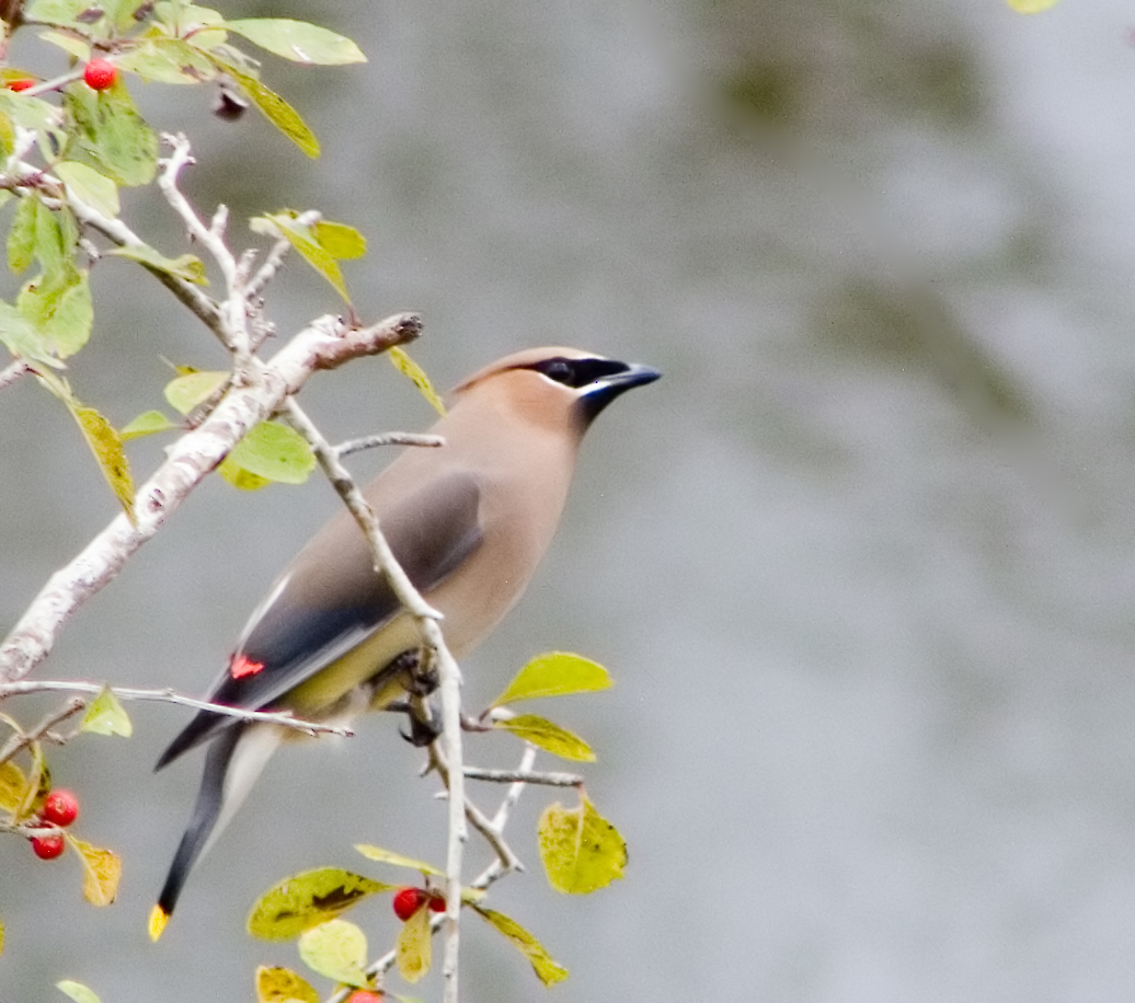 Cedar waxwing looking for holly berries