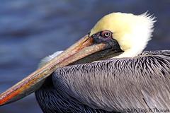 20061213_EvergladesPelican05