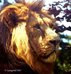 Indian Lion photo by Lynngerald