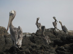 Brown pelicans perch on the rocks at Little Scorpion on Santa Cruz Island, part of California's Channel Islands