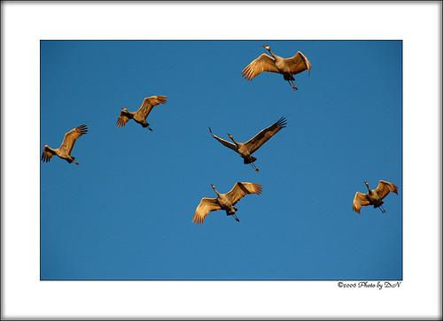 grey cranes2