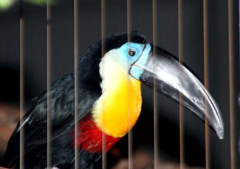 Channel-billed Pelican, St Louis Zoo, IMG_0741.JPG