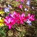 Hesperantha pauciflora by apricor