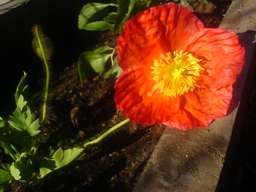 Icelandic poppy (by You)